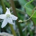 Campanula aparinoides