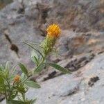 Chiliadenus