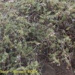 Campylanthus glaber