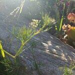 Cyclospermum leptophyllum