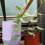 Convolvulus sepium Leaf