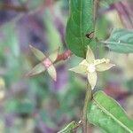 Ludwigia erecta