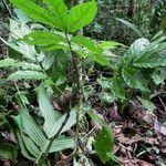Solanum trizygum