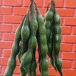 Erythrina edulis