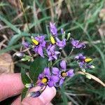 Solanum dulcamara Blomma