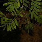 Lonchocarpus