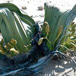 Welwitschia mirabilis Fruit