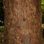 Afrocarpus usambarensis