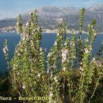 Satureja subspicata
