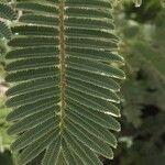Senegalia rehmanniana