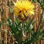 Centaurea collina