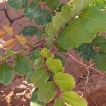 Ceratonia siliqua Leaf
