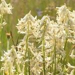 Astragalus sheldonii