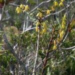 Dendrobium crassicaule