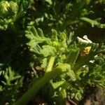 Argyranthemum teneriffae