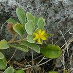 Corchorus torresianus