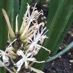 Sansevieria canaliculata