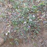 Astragalus micranthellus