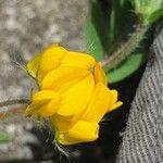 Lotus hispidus