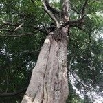 Sloanea terniflora