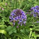 Nectaroscilla hyacinthoides