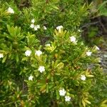 Alyxia caletioides