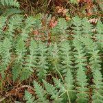 Dennstaedtiaceae