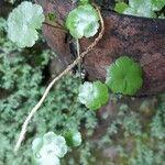 Hydrocotyle americana