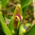 Bontia daphnoides