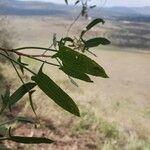 Rumex usambarensis Leaf