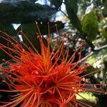 Brownea rosa-de-monte