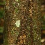 Abarema mataybifolia