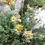 Euphorbia terracina