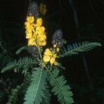 Peltophorum africanum