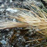 Dielsiochloa floribunda