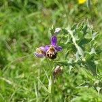 Ophrys aegirtica