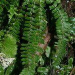 Aspleniaceae