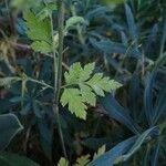 Chaerophyllum nodosum