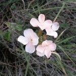 Crossandra subacaulis