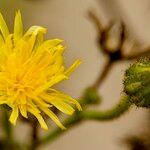 Sonchus palustris