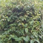 Lonicera japonica Liść