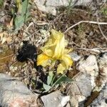 Iris lutescens Fleur