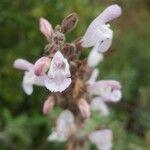 Salvia fruticosa