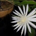 Epiphyllum phyllanthus 花