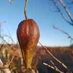 Araujia angustifolia