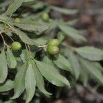 Elaeodendron xylocarpum