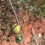 Garcinia brasiliensis