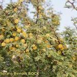 Acacia gummifera