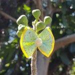 Ficus adhatodifolia