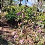 Tibouchina herbacea Cvet